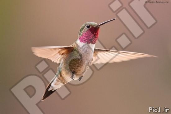 پرنده مگس خوار 2