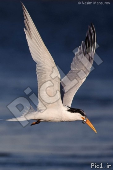 پرنده کاسپین