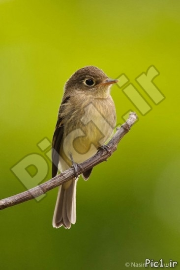 Pacific-slope-Flycatcher-433x650